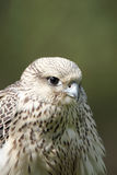 Gyrfalcon Portrait Royalty Free Stock Images