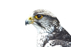 Gyrfalcon portrait Stock Images