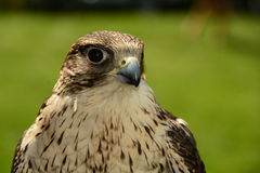 GyrFalcon portraiture. Royalty Free Stock Photography