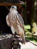 Gyrfalcon que senta-se na luva do falcoeiro Imagens de Stock