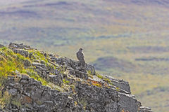 Gyrfalcon on a Rocky Outcrop Royalty Free Stock Photos