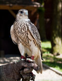 Gyrfalcon Sitting on Falconer's Glove Stock Images