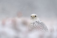 Gyrfalcon on snowy winter Stock Photo