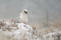 Gyrfalcon on snowy winter stock photo