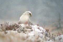 Gyrfalcon on snowy winter. Gyrfalcon sitting on snowy ground in snowy blizzard Stock Photo