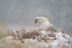 Gyrfalcon on snowy winter royalty free stock image