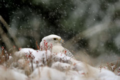 Gyrfalcon on snowy winter Royalty Free Stock Images