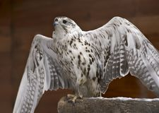 The Gyrfalcon spread its wings. White Falcon - Gyrfalcon sitting on a branch and spread his wings in the pavilion of the Novosibirsk zoo. White spotted feathers royalty free stock photo