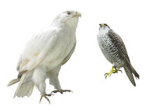 Gyrfalcon Stock Images