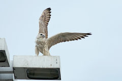 Gyrfalcon Royalty Free Stock Images