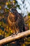 Gyrfalcon zit op een tak, een kleine roofvogel rust op pe stock fotografie