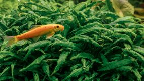 Little orange fish swimming in the fresh water. Gyrinocheilus aymonieri, a freshwater fish native to large parts of Southeast Asia Royalty Free Stock Image