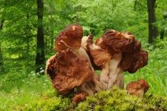Gyromitra esculenta真菌 免版税库存照片