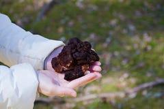 Gyromitra Esculenta γνωστός ως ψεύτικη μορχέλλη στο δάσος Στοκ εικόνες με δικαίωμα ελεύθερης χρήσης