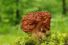 Gyromitra esculenta fungus Royalty Free Stock Photos