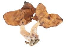 Gyromitra fastigiata Fotografia Stock