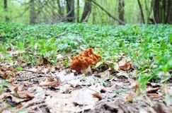 Gyromitra gigas plocka svamp, gemensamt bekant, som snömorelen, snöar falsk morel, kalvhjärnan eller bullnosen, är en svamp Royaltyfri Bild