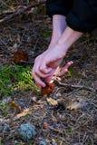 Gyromitra plocka svamp Esculenta bekant som falsk morel i skogen som mannen klipper av Arkivbilder