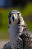 Gyrperegrine Falcon Royalty Free Stock Image