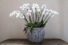 gzhel样式的瓷花圃与白色兰花开花 免版税库存照片
