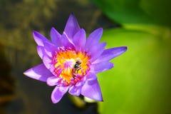 Hábito de la abeja con loto púrpura naural Fotos de archivo libres de regalías