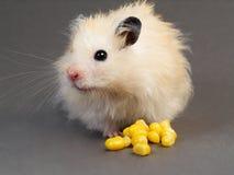 Hámster con maíz Fotografía de archivo libre de regalías