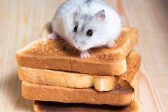 Hámster de Jungar en tostadas pequeñas de un pan Imagen de archivo libre de regalías