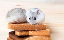 Hámster de Jungar en tostadas pequeñas de un pan Imagenes de archivo