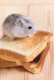 Hámster de Jungar en tostadas pequeñas de un pan Fotos de archivo libres de regalías