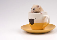Hámster que se sienta en una taza de té amarilla Foto de archivo