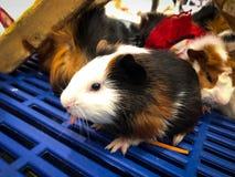 Hámsteres Teddy Bear Hamster foto de archivo libre de regalías