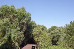 Hölzerne Fußwege im Mangrovenwald lizenzfreie stockbilder