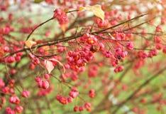 Höstbär på ett träd för spindel 'för röd kaskad 'för Euonymuseuropaeus arkivfoto