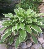 HÃ-³ sta, Garten, Blumen, Wirt, Blume, mehrjährige Pflanzen lizenzfreies stockfoto