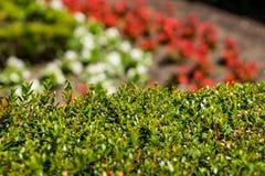 Häck i en trädgård Fotografering för Bildbyråer