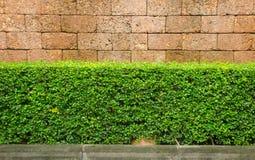 Häck med bakgrund för lateritetegelstenvägg Royaltyfri Fotografi