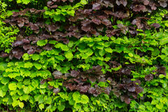 Häck med gräsplan- och bruntlövverk Arkivfoton