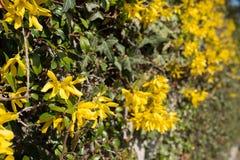 Häck med gula blommor av forsythia Fotografering för Bildbyråer