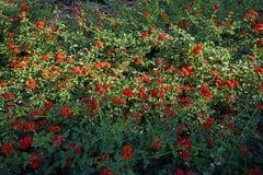 häckväxt med röda blommor royaltyfri fotografi