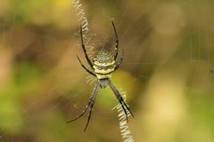 Häftespindel eller författaren Spider royaltyfri foto