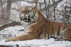 Häftig snöstormkatt Arkivfoto