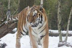 Häftig snöstormkatt Royaltyfri Bild
