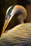 Häger Crane Bird på solnedgången royaltyfria bilder