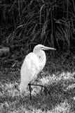 Häger eller stor ägretthägerfågel arkivbild