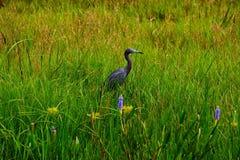 Häger för små blått i högväxt gräs Royaltyfria Bilder