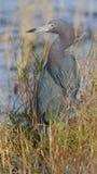 Häger för små blått - Merritt Island Wildlife Refuge, Florida Royaltyfri Bild