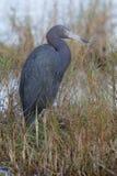 Häger för små blått - Merritt Island Wildlife Refuge, Florida Royaltyfria Foton