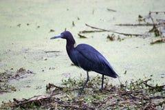 Häger för små blått som söker efter föda för mat i sjön Martin Swamp arkivbild