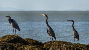 Häger för stora blått på havkusten Fotografering för Bildbyråer