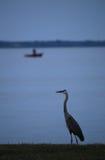 Häger för stora blått på vattens kant med fiskebåten Royaltyfri Foto
